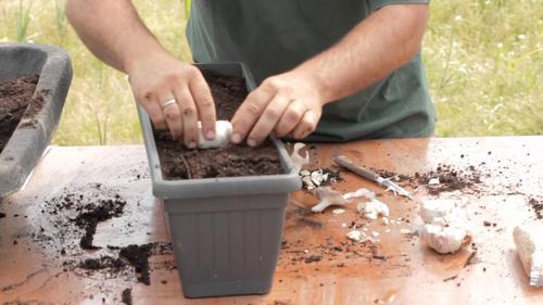 Cómo plantar ajo y cebolla en casa: ¡muy fácil!
