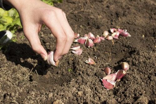 Cómo cultivar ajo en casa