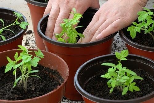 ¿Cómo-plantar-la-tomatera