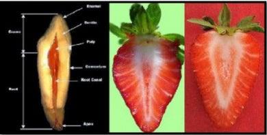 Parecido entre fresas y dientes