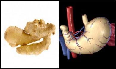 Parecido entre jengibre y estómago