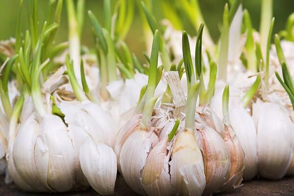 ¿Tiras los ajos germinados? ¡Descubre sus grandes beneficios!