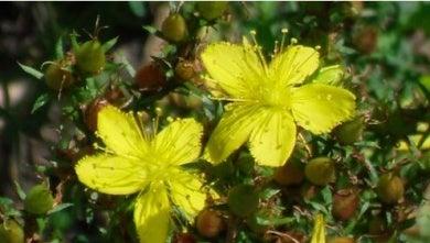 farmaco acido urico que infusiones son buenas para bajar el acido urico alimentacion con acido urico alto