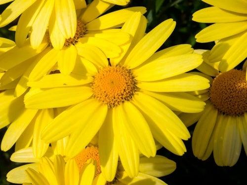 Descubre la flor que alivia dolores musculares y cura moratones