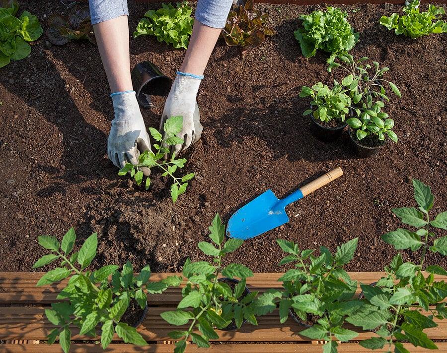 Cómo cultivar salvia, la planta de las mujeres