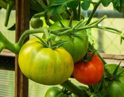 ¿Se pueden reducir las varices con tomates verdes y rojos?