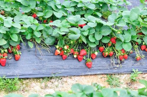 Hojas de fresa para desintoxicar el cuerpo