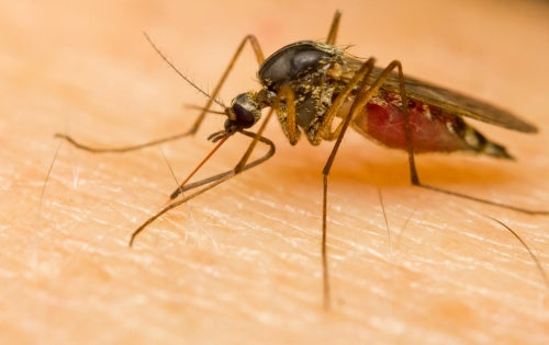 ¿Por qué algunas personas son más atractivas para los mosquitos?