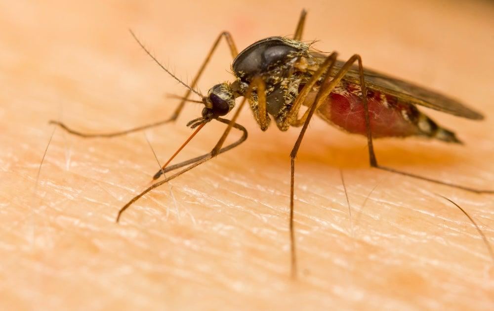Mosquito picando en la piel de una persona.
