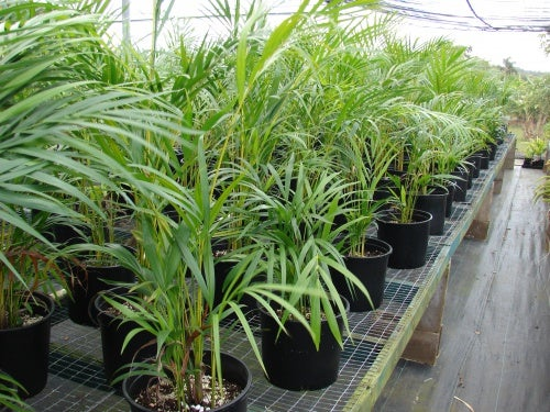 Chrysalidocarpus_lutescens