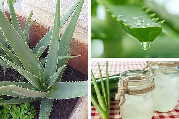 Descubre por qué es bueno cultivar aloe vera en casa