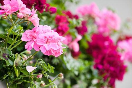 Flores Para El Balcón Las 5 Mejores Que Puedes Colocar Para