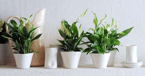 lirio-de-paz plantas para conciliar el sueño