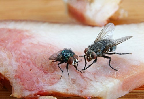 Cuándo es un peligro que la mosca toque los alimentos