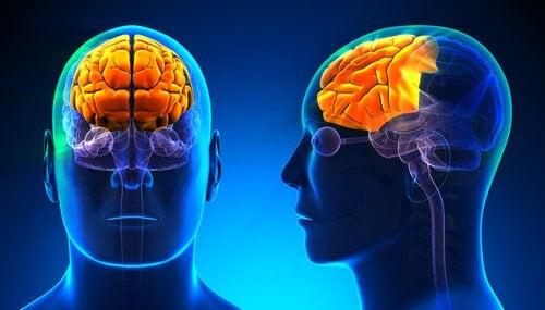 Ilustración en 3D del lóbulo frontal humano iluminado.