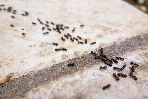 6 repelentes libres de químicos tóxicos para combatir las hormigas