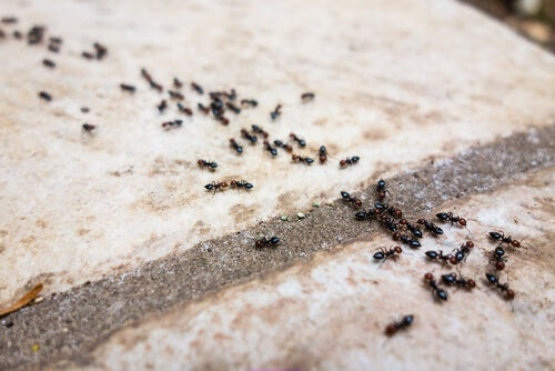 6 repelentes libres de químicos para combatir las hormigas