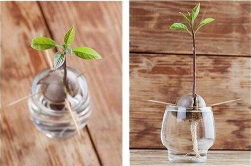 plantar semilla de aguacate