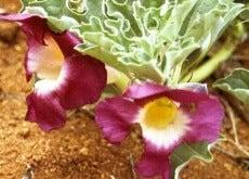 Planta-harpagofito