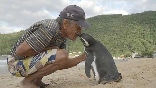 Pingüino nada 8000 kilómetros al año para visitar a quien le salvó la vida