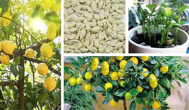 Cómo germinar semillas de limón para disfrutar un bonito árbol en tu jardín