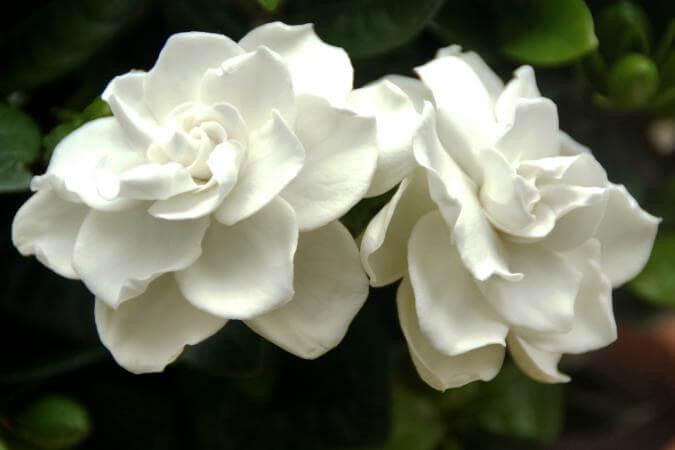 gardenia ayuda al insomnio