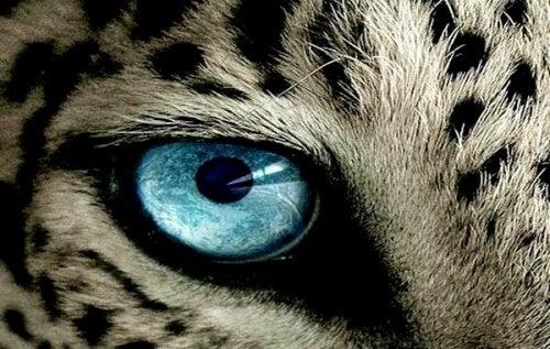 ojo-tigre (Copy)