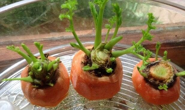 Cómo cultivar zanahorias en casa: ¿Te animas?