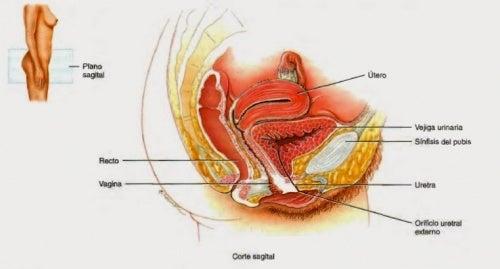 Uretra femenina