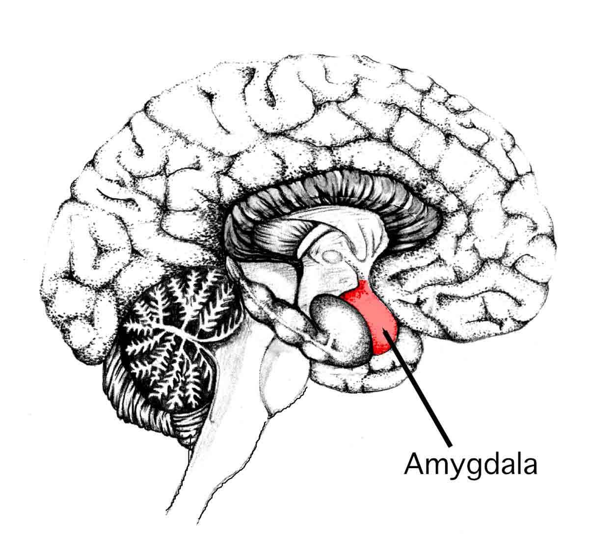 Amígdala en corte sagital