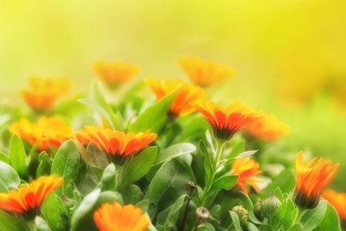 Plantas de caléndula para ahuyentar los mosquitos