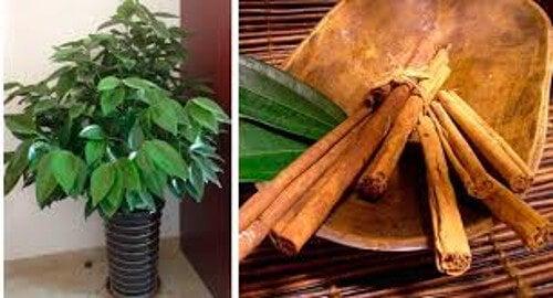 Aprende a cultivar canela en casa