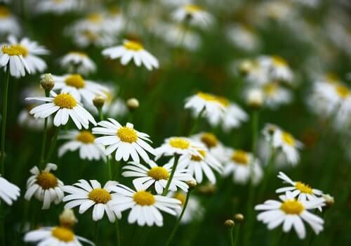 La manzanilla es una de las plantas que puede ayudar a curar y cicatrizar tus heridas.