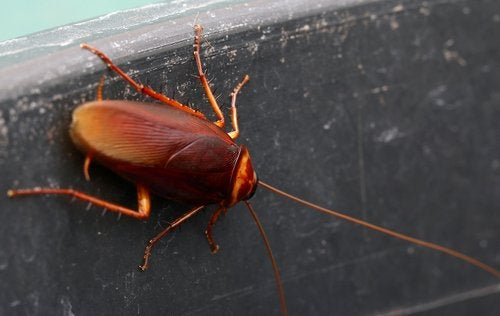 Todo lo que se debe saber sobre las cucarachas