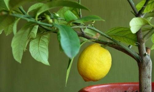 4 árboles frutales que puedes hacer crecer en tu hogar