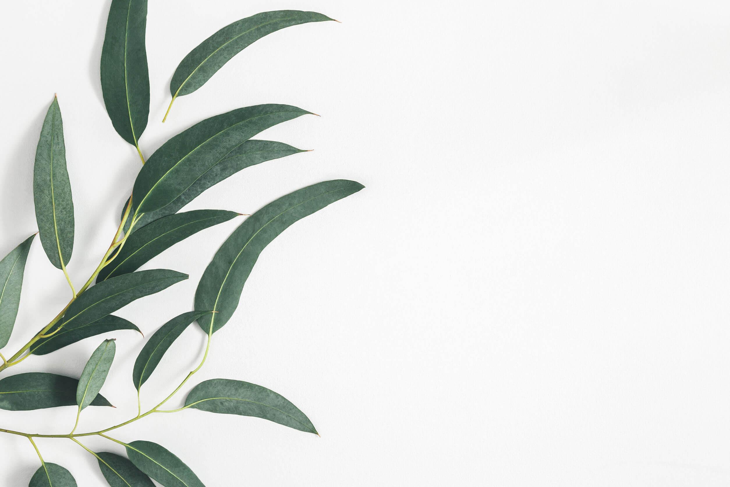 Para combatir la congestión nasal es bueno el eucalipto.