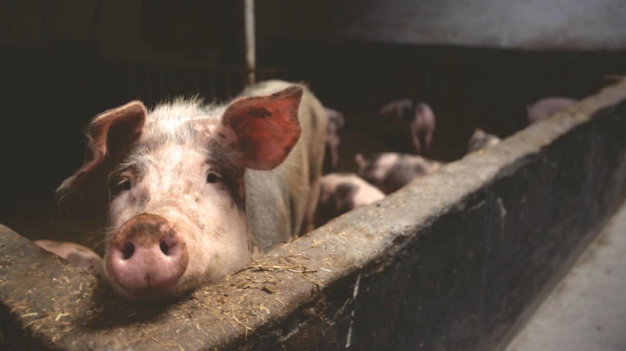 """¿Comer piel de cerdo puede ser riesgoso para el organismo"""""""