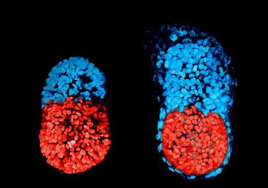 El primer embrión artificial creado a partir de células madre
