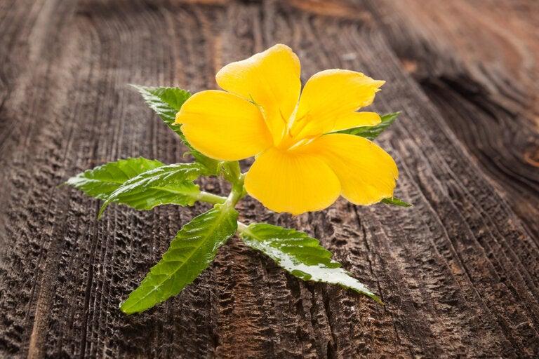 Descubre las propiedades del té de damiana