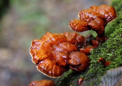 """Descubre los beneficios del hongo de la energía """"vital"""" o la INMORTALIDAD"""