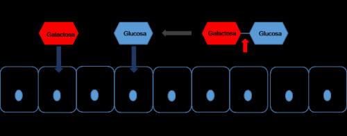 Lactosa-1