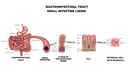 Descripción anatómica de los componentes del intestino delgado