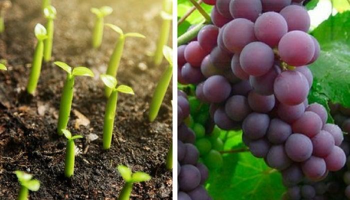 Descubre c mo cultivar uvas en casa mejor con salud for Como cultivar peces en casa