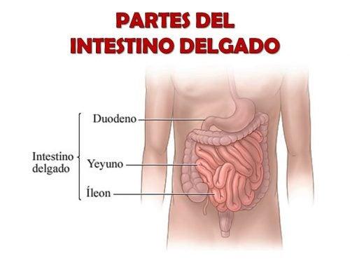 Anatomía del intestino delgado – Mejor con Salud