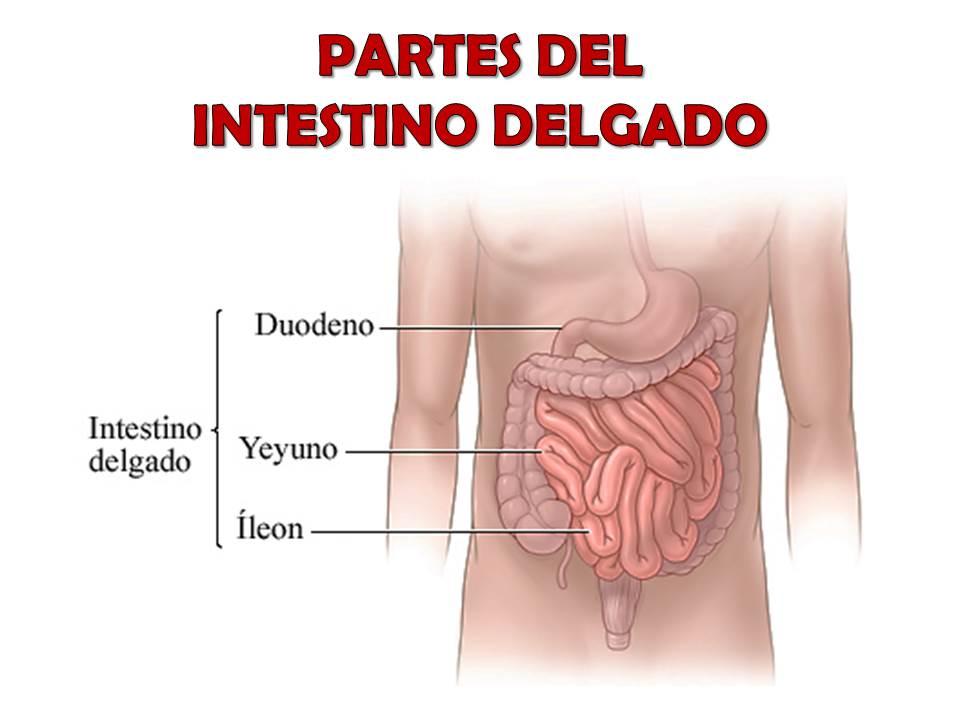 partes del intestino delgado