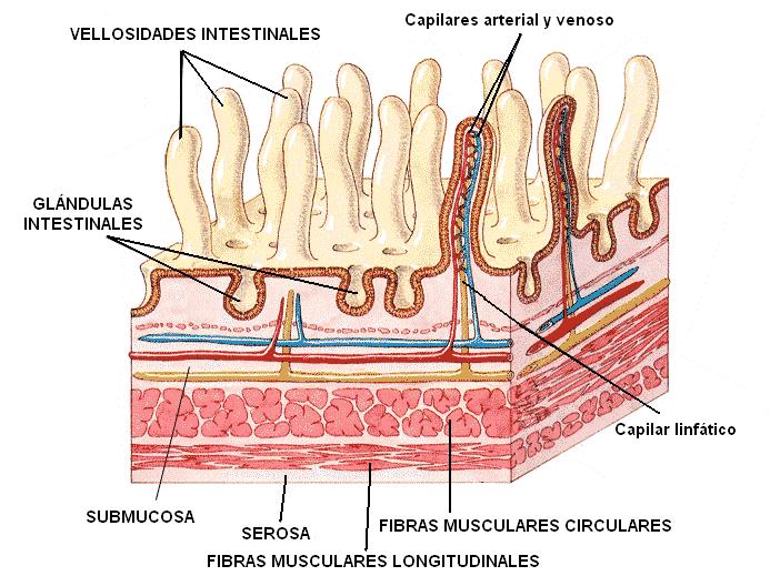 Las capas del intestino delgado