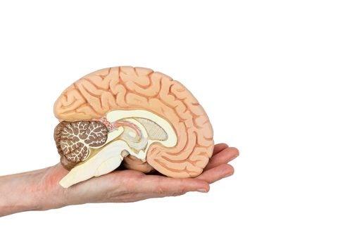 Corte transversal del cerebro para visualización de sus partes.