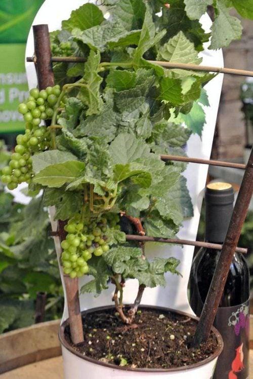 cultivar-uvas-soporte