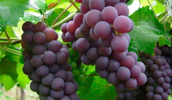 cultivar-uvas