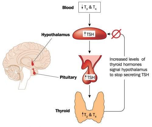 Regulación del eje hipotálamo - hipófisis - tiroides